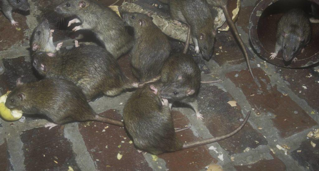 уничтожение крыс в Дубне